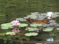 Lotus_12