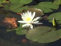 Lotus_32