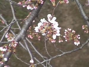 Sakura_32