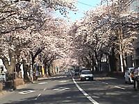 Sakuratori_3