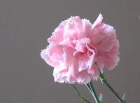 Carnation_1