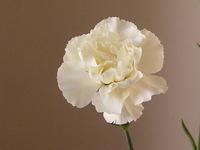 Carnation_2