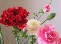 Carnation_3