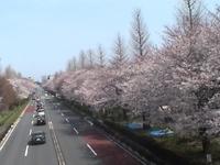 Sakura_12_3