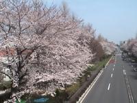 Sakura_13_2