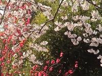Sakura_4_1