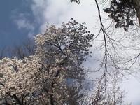 Sakura_5_1