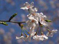 Sakura_d2_1
